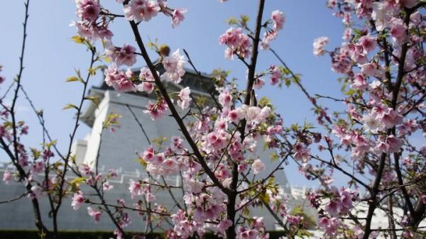 中正記念堂桜2